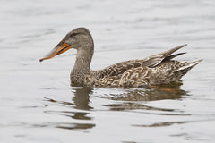 Female Shoveler Swimming in a Pond - Florida Stock Photography