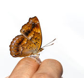 Female of siamese black price butterfly on finger Royalty Free Stock Photography