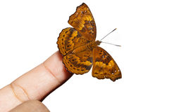 Female of siamese black price butterfly on finger Royalty Free Stock Images