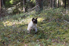 Female Siamese cat sitting in green forest Stock Photos