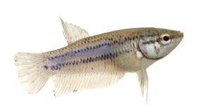 Female Siamese fighting fish Stock Photo