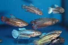 Female of Siamese fighting fish (Betta) aquarium fish Stock Photo