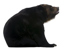 Female Siberian bear, 12 years old Stock Photography