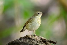 Female siberian blue robin (Luscinia cyane) Royalty Free Stock Photos