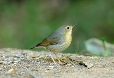 Female siberian blue robin (Luscinia cyane) Stock Images