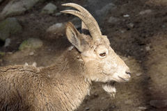 Female Siberian ibex, Capra sibirica, losing winter coat Royalty Free Stock Photo