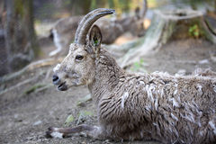 Female Siberian ibex, Capra sibirica, losing winter coat Stock Photo