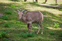 Female Siberian mountain goat Royalty Free Stock Image