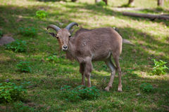 Female Siberian mountain goat Royalty Free Stock Photo