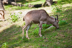 Female Siberian mountain goat Stock Image