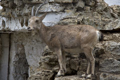 Female Siberian mountain goat standing on rocks Royalty Free Stock Image