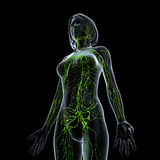 Female side view Lymphatic system. Female side view anatomy illustration of the Lymphatic system Stock Images
