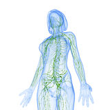 Female side view Lymphatic system. Female side view anatomy illustration of the Lymphatic system isolated Stock Photo
