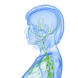 Female side view Lymphatic system. Female side view anatomy illustration of the Lymphatic system isolated Royalty Free Stock Images