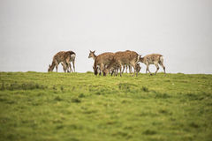 Female sika deer grazing on open grassland on overcast day Royalty Free Stock Images