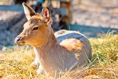 The female sika deer lies Stock Photo