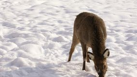 Sika deer on winter background stock footage