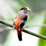 Female Silver-breasted Broadbill Royalty Free Stock Images