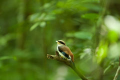 Female Silver-breasted Broadbill on Tree Royalty Free Stock Images