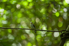 Female Silver-breasted Broadbill on Tree Stock Images