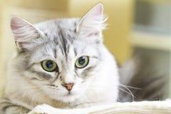 Female silver cat, beautiful siberian kitten Royalty Free Stock Images