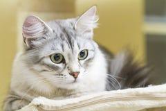 Female silver cat, beautiful siberian kitten Royalty Free Stock Image