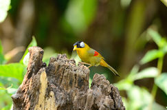 Female silver-eared mesia Stock Photos