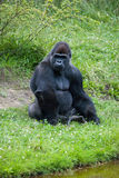 Female silver gorilla Royalty Free Stock Photo