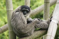 Female silvery gibbon with cub. In zoo Stock Images