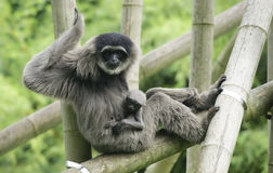 Female silvery gibbon with cub. In zoo Royalty Free Stock Photography