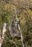Female silvery gibbon Stock Photos