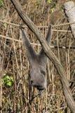 Female silvery gibbon Stock Image