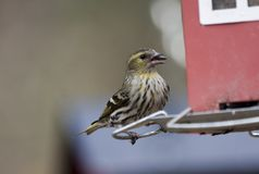 Female siskin Royalty Free Stock Photos