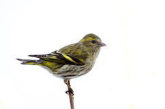 Female siskin Stock Photos