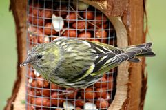 Female siskin on feeder Royalty Free Stock Photography