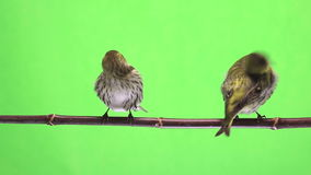 Female siskin isolated stock video footage