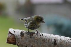 Small song bird. Female siskin small song bird Stock Image