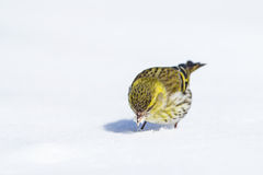 A female Siskin on the snow Stock Photography