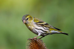 Female Siskin on Teasel Royalty Free Stock Images
