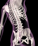 Female skeleton. 3D render of a female medical skeleton with a close up of the spine Royalty Free Stock Photography