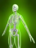 Female skeleton Royalty Free Stock Image