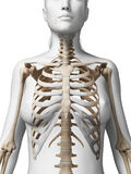 Female skeleton Stock Photo