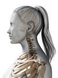 Female skeleton Stock Images