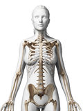Female skeleton Royalty Free Stock Photo