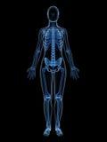 Female skeleton Stock Photos