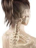 The female skeleton Royalty Free Stock Photos