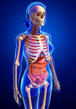 Female skeleton and digestive system Royalty Free Stock Photos