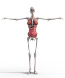 Female skeleton. With internal organs anatomy, lungs, intestines royalty free stock photography