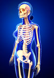 Female skeleton side view Royalty Free Stock Images