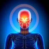 Female Skull / Cranium - Anatomy Bones. Female Anatomy Medical Imaging by @ decade3d royalty free stock photos